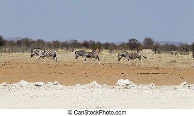 Group of Elephants at waterhole, Hwange, Africa safari wildlife
