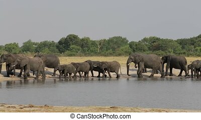 Group of Elephants at waterhole, Hwange, Africa safari...