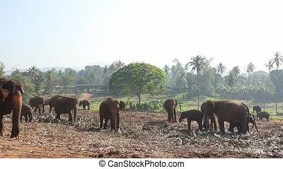 Group Of Elephants.
