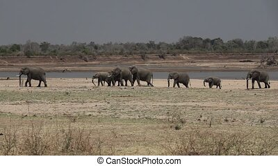 Group of elephants walk in a row in super slow motion