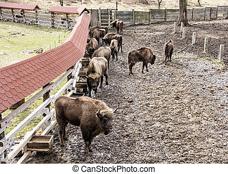 Group of European bison in the fenced paddock, animal scene