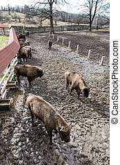 Group of European bison in the fenced paddock, animal theme