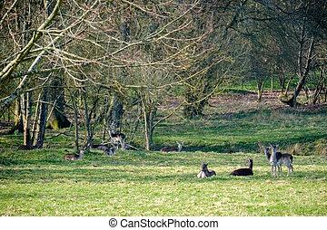 Group of European Roe Deer (Capreolus capreolus)