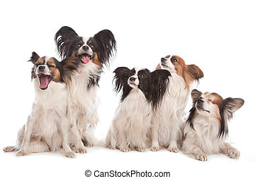 group of five papillon dogs