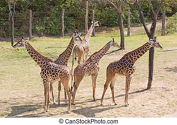 Young Giraffes on the Lookout - Group of Five Young Giraffes...