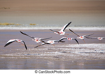 Group of flamingos flying over the lagoon, Bolivia