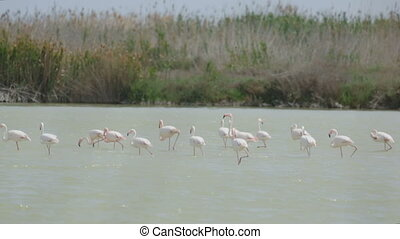 Group of flamingos in lagoon of river in spring day
