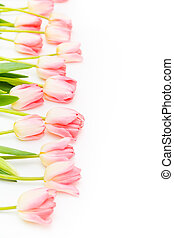 Group of flowers pink tulips on a white background. Panorama. Spring landscape