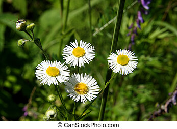 four camomiles with narrow petals