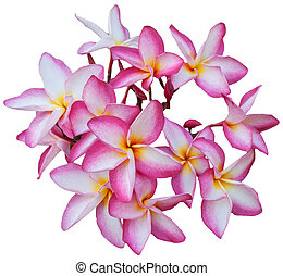 group of Frangipani flowers blooming isolated on white