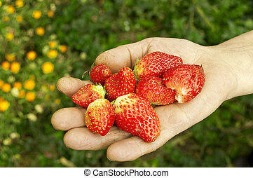 Group of fresh strawberries in hand
