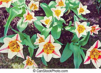 Group of garden tulips