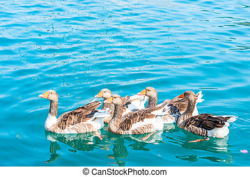group of geese floating in the sea