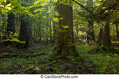 Group of giant oaks in natural forest
