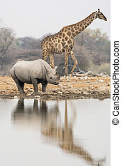 Group of giraffe and rhinoceros at waterhole in the late afternoon