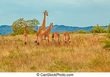Group of Giraffe - Group of African giraffe walks in...