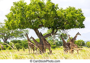 Group of giraffes have a rest under the big tree