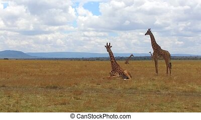 animal, nature and wildlife concept - group of giraffes in maasai mara national reserve savanna at africa