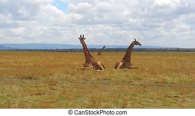 group of giraffes in savanna at africa - animal, nature and...