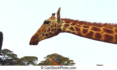 group of giraffes in savanna at africa
