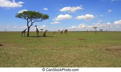group of giraffes in savannah at africa - animal, nature and...