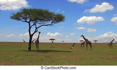 group of giraffes in savannah at africa