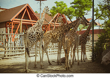 Group of giraffes in the zoo