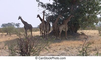 Group of Giraffes under a Tree in Moremi Game Reserve, Botswana