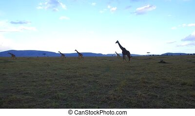 animal, nature and wildlife concept - group of giraffes walking along maasai mara national reserve savanna at africa