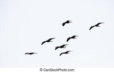 glossy ibis - Group of glossy ibis (plegadis falcinellus) ...