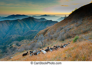 Group of goats in the mountains