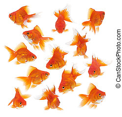 group of goldfish in different position and angle
