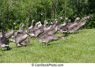 Group of goslings running