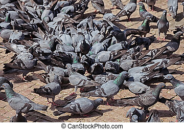 Group of gray pigeons