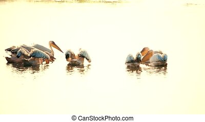 Group of great white pelicans float on water with spread wings