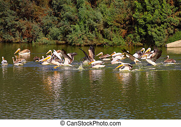 Group of Great White Pelicans in water - flock of Great ...