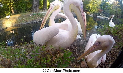 Pelicans - Group of Great White Pelicans