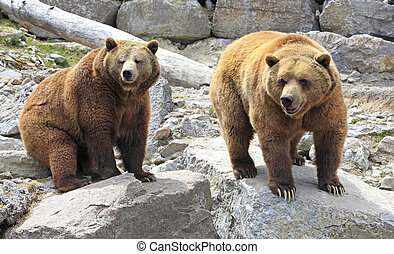 Grizzly bears - Group of Grizzly bears, Canada