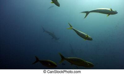 Group of Hammerhead shark in shoal fish underwater lagoon of...