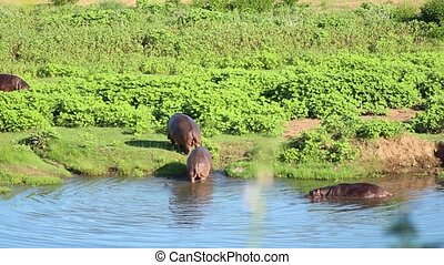 Hippopotami leaving water in Kruger National Park. Long shot.