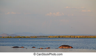 Group of hippos in the water at sunset