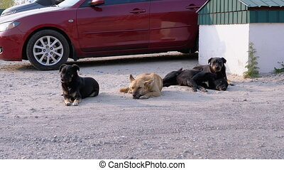 Group of Homeless Dogs Lie on the Street. Four guard dogs lie on the ground next to each other. Dogs Guard car parking. Three black and one ginger adult stray dog. Slow Motion. Spring sunny day.