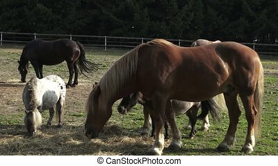Group of horses eating hay in an arid field on sunny summer day. Horses eating hay on the farm,sun glare.