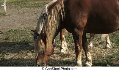 Group of horses eating hay