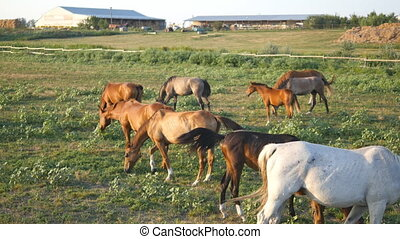 Group of horses grazing on the meadow. Horses is walking and eating green grass in the field. Close up