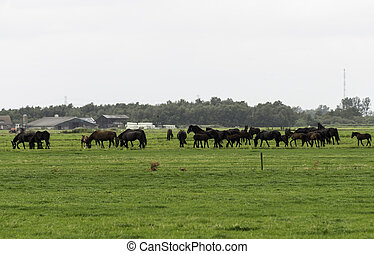 group of horses on farm in Holland