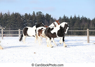 Group of horses running in winter