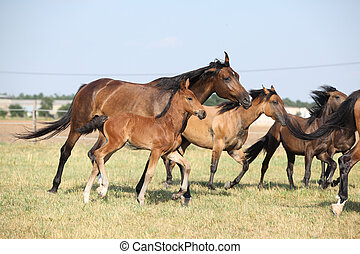Group of horses with foal running