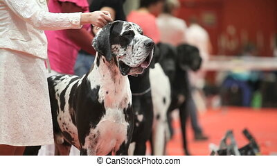 Great Dane - Group of huge Great Dane before training,...