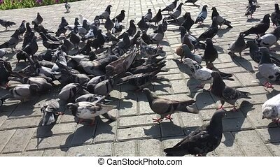 Group of hungry pigeons running and eating seeds from the ground.